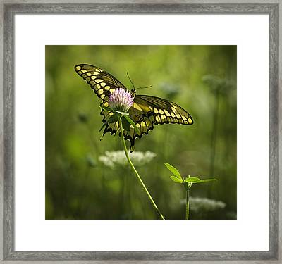 Giant Swallowtail On Clover 1 Framed Print by Thomas Young