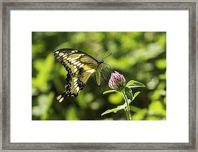 Giant Swallowtail On Clover 2 Framed Print by Thomas Young