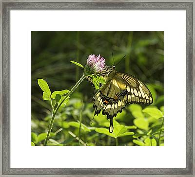 Giant Swallowtail On Clover 3 Framed Print by Thomas Young