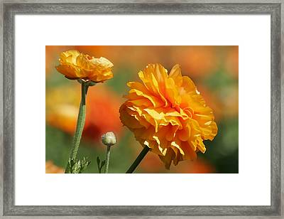 Giant Tecolote Ranunculus - Carlsbad Flower Fields Ca Framed Print by Christine Till