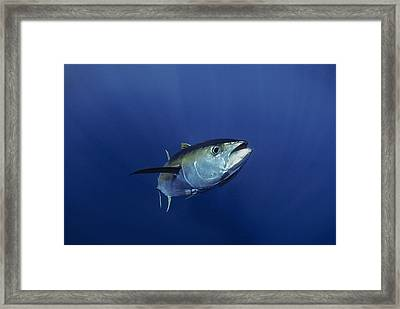Giant Yellowfin Tuna Framed Print by Jeffrey Rotman