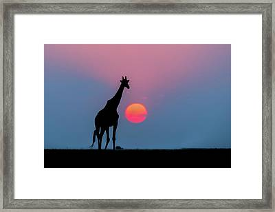 Giraffe At Sunset Chobe Np Botswana Framed Print by Andrew Schoeman