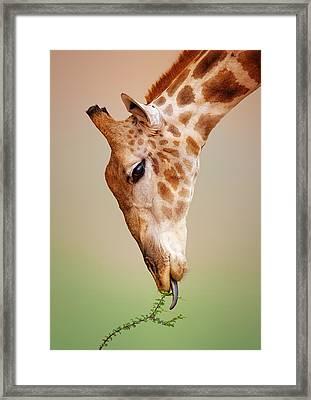 Giraffe Eating Close-up Framed Print by Johan Swanepoel