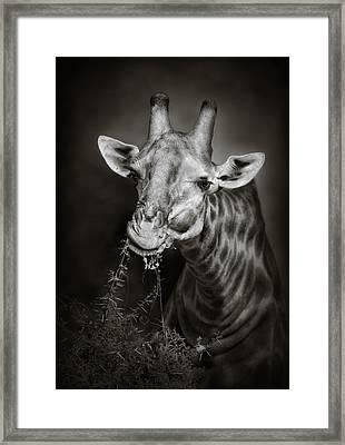 Giraffe Eating Framed Print by Johan Swanepoel