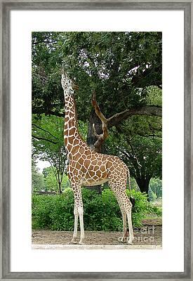 Giraffe Eats-09053 Framed Print by Gary Gingrich Galleries