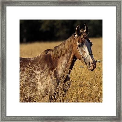 Giraffe Horse D7330 Framed Print by Wes and Dotty Weber