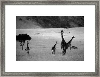 Giraffe In Black And White Framed Print by Sebastian Musial