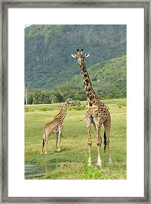 Giraffe Mother And Calftanzania Framed Print by Thomas Marent