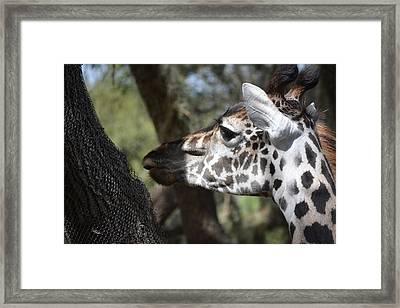 Giraffe  Framed Print by Nicholas Outar