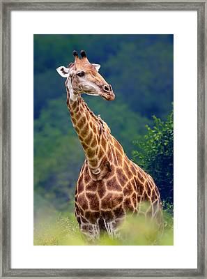 Giraffe Portrait Closeup Framed Print by Johan Swanepoel