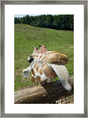Giraffe Sticking Out Its Tongue Framed Print by Jim West