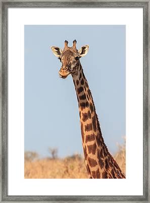 Giraffe Tongue Framed Print by Adam Romanowicz