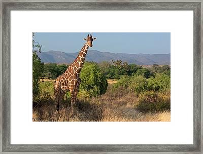 Giraffe Walking Across Plain, Kenya Framed Print by Panoramic Images
