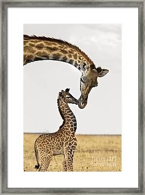 Giraffe's First Kiss Framed Print by Carol Walker