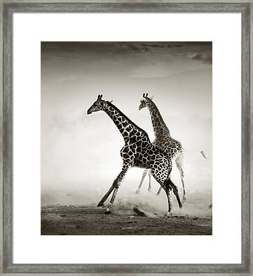 Giraffes Fleeing Framed Print by Johan Swanepoel