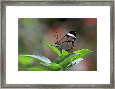 Glasswing Butterfly Framed Print by Juergen Roth