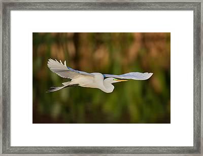 Gliding Great Egret Framed Print by Andres Leon