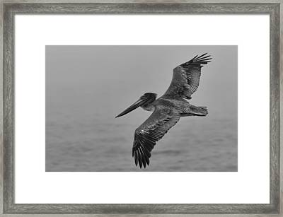 Gliding Pelican In Black And White Framed Print by Sebastian Musial