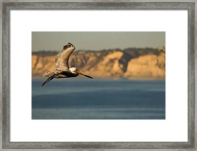 Gliding Pelican Framed Print by Sebastian Musial