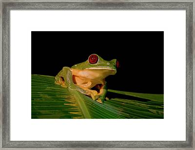 Gliding Tree Frog (agalychnis Spurrelli Framed Print by Thomas Wiewandt