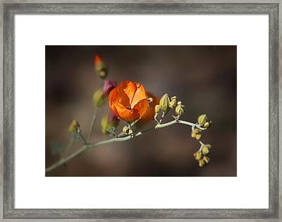 Globemallow Framed Print by Nikolyn McDonald