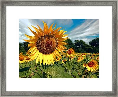 Glorious Sunflower Framed Print by Daniel Hagerman