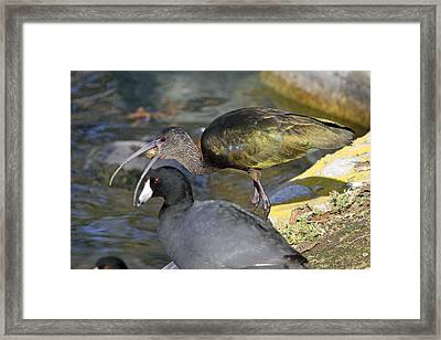 Glossy Ibis Eating Framed Print by Shoal Hollingsworth