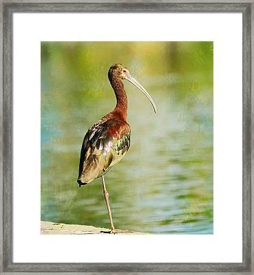 Glossy Ibis Framed Print by Fraida Gutovich