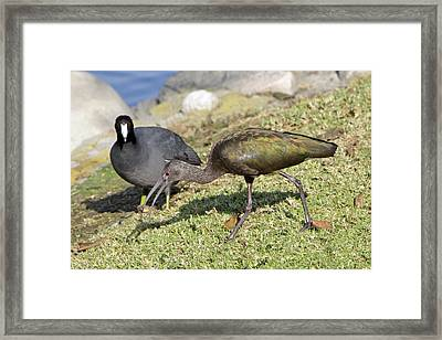 Glossy Ibis Framed Print by Shoal Hollingsworth