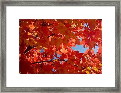Glowing Fall Maple Colors 3 Photograph by Douglas Barnett