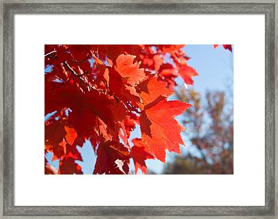 Glowing Fall Maple Colors 4 Framed Print by Douglas Barnett