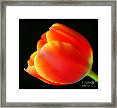 Glowing Tulip Framed Print by Darren Fisher