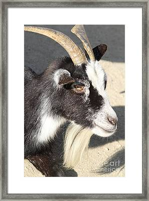 Goat 7d27405 Framed Print by Wingsdomain Art and Photography