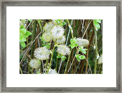 Goat Willow (salix Caprea) Flowers Framed Print by D C Robinson