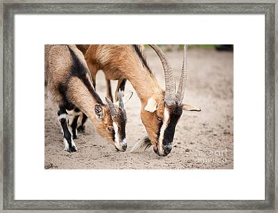 Eat Free Framed Print featuring the photograph Brown Domesticated Goats Eating From Sand  by Arletta Cwalina