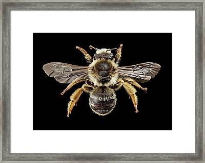 Gold-tailed Melitta Bee Framed Print by Us Geological Survey