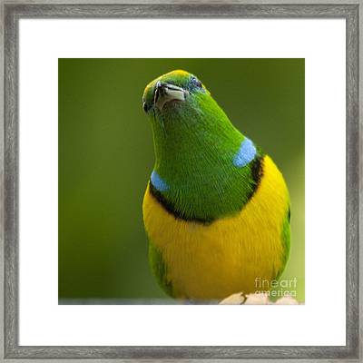 Golden-browed Chlorophonia - Chlorophonia Callophrys Framed Print by Heiko Koehrer-Wagner