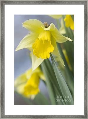Golden Daffodils Framed Print by Anne Gilbert