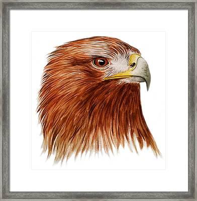 Golden Eagle Framed Print by Ele Grafton