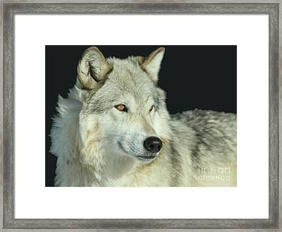 Golden Eye Framed Print by Adam Jewell
