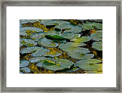 Golden Lilly Pads Framed Print by Frozen in Time Fine Art Photography
