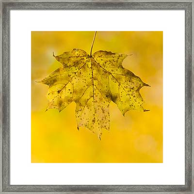 Golden Maple Leaf Framed Print by Sebastian Musial