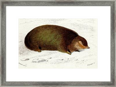 Golden Mole Framed Print by Collection Abecasis