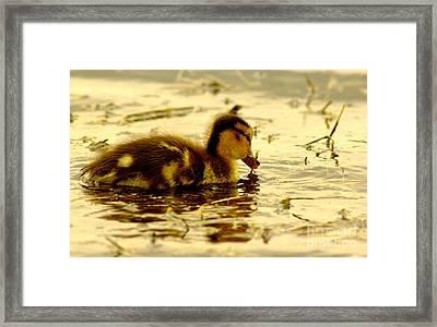 Golden Moment - Duck Framed Print by Robert Frederick