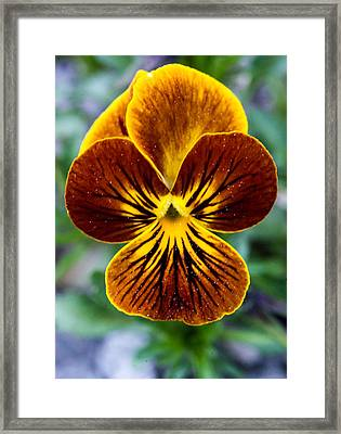 Golden Pansey Framed Print by Douglas Barnett