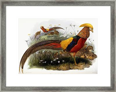 Golden Pheasants Framed Print by Joseph Wolf