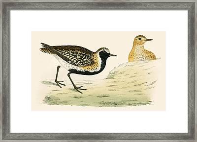 Golden Plover Framed Print by Beverley R Morris