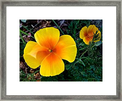 Golden Poppies In Park Sierra-ca Framed Print by Ruth Hager