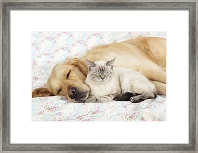 Golden Retriever And Cat Framed Print by John Daniels