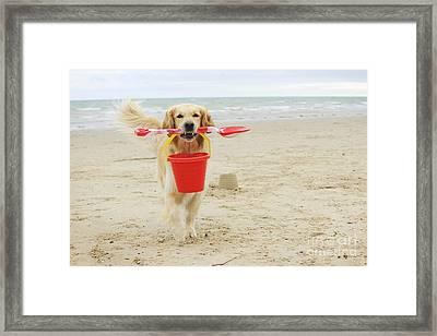 Golden Retriever At Beach Framed Print by John Daniels